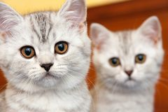 Muzzles of two British kittens of black and white color. With orange eyes close-up stock photos