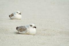Möven-Nestlinge auf dem Sand Stockfotos