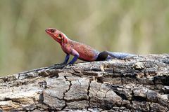 Mwanza flat headed agama Stock Images