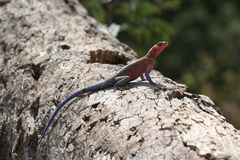 Mwanza flat headed agama Royalty Free Stock Images
