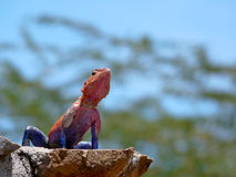 The Mwanza Flat-headed Agama Royalty Free Stock Image
