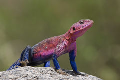 Mwanza flat-headed Rock Agama Stock Image