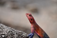 A picture of an Agama. royalty free stock photo