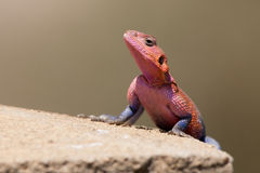 Mwanze Flat-headed agama Stock Photography