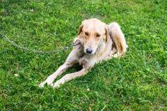 Myśliwego pies traken charcica na łańcuszkowym lying on the beach na trawie podczas gdy walking_ obrazy stock