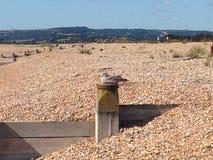 Myślący seagull Zdjęcie Royalty Free