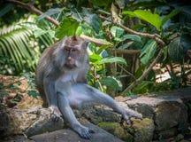 Myśliciel - małpa obraz royalty free