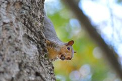 My Acorn. Fox squirrel carrying acorn down an oak tree preparing for winter Royalty Free Stock Images
