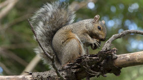 Squirrel eating an acorn Royalty Free Stock Photos
