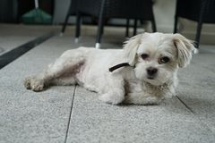 My adorable little dog pebbles royalty free stock photography