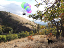 My adventuresome black and white cat taking a whimsical trip with colorful balloons Royalty Free Stock Photo