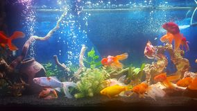 My aquarium with vail teil goldfishes royalty free stock photography