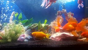 My aquarium with val teil goldfishes Stock Photo
