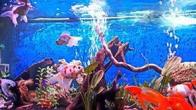 My aquarium with veil tail goldfishes (panda, schubukin,...) royalty free stock photo