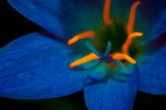 Magic of Blue Flower in Dark. My Art With Beautiful flower. Blue and Orange colors. Now it is Colorful photography. A flower, sometimes known as a bloom or royalty free stock image
