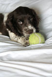My ball. Cute cocker spaniel puppy chewing her ball Royalty Free Stock Images