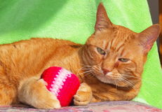 My ball. Orange cat playing with his toy stock image