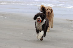 My Ball. Two dogs playing a game of fetch with a ball at the ocean stock photo