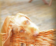 My basket tastes nice!. A wirehaired hungarian Vizsla puppy Royalty Free Stock Image