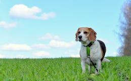 My Beagle Stock Image