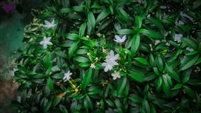 My beatiful and fertile jasmine flower stock photography