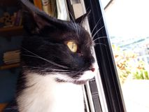 Wyllson the philosophic cat. This is my beautiful cat Wyllson, looking outside the window, maybe thinking about the hard cat life Royalty Free Stock Photography