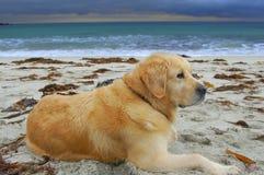 My beautiful dog Thera. Took this shot of my dear companion at Storsanden in Flakstad island, Lofoten stock photography
