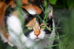 A young tortoiseshell calico cat hiding in undergrowth. My beautiful Greek Rescue tortoiseshell cat `Olivia` having fun behind the lavender royalty free stock photography