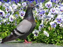 It is my bed. The pigeon in flowers Stock Photos