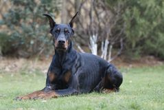 My best friend Doberman. My new best friend is looking to Camera Royalty Free Stock Photos