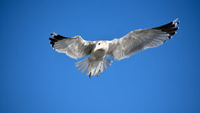 My Best Side. A beautiful Seagull flying the blue sky Royalty Free Stock Images