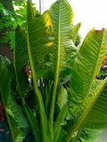 Big leaf royalty free stock photography