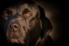 Black Labrador Portrait At Sunrise stock image