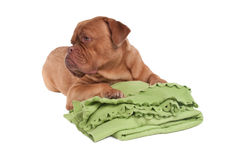 This is my blanket. Dogue de bordeaux lying on a green blanket Stock Images