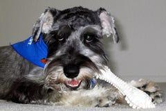 Dog eating bone. Portrait of cute dog eating bone Royalty Free Stock Images