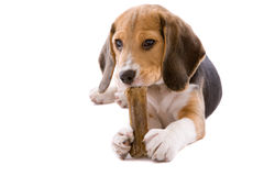 This is my bone. Cute young beagle chewing on a fresh bone Royalty Free Stock Photos