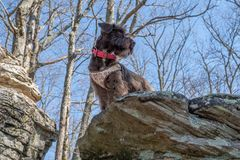 My miniature schnauzer stock photography