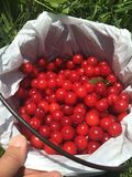 My Bucket O' Cherries:)). Red:)) So perfect:)) Green Grass Stock Image