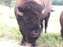 My buddy the buffalo. My buddy the wild buffalo stock image