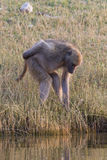 My butt itches. A baboon scratches his rear end while walking along the choebe river Stock Photography