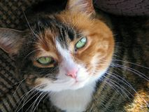 My Calico Cat. Calico cat relaxing in the sun royalty free stock photo