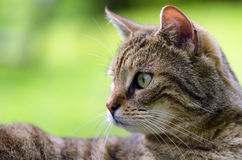 My cat. A beautiful tabby cat portrait Stock Images