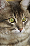 My cat Arthur Stock Photo