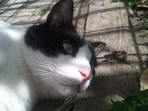 My cat beautifull green eyes. Cute cat with beautiful green eyes and white and black stock photos