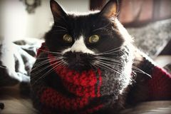 My cat Ben wearing a scarf Stock Image