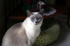 My cat Bianca. Our house companion for last 10 years. What a pleasure to have her Stock Images