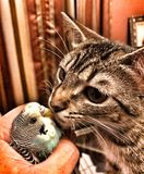 My cat kissing my bird Royalty Free Stock Photography