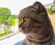 My cat looks like a little tiger. Scottish fold cat in spring Royalty Free Stock Photos