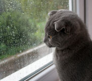 my cat loves the rain. Scottish Fold Royalty Free Stock Photos