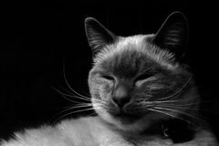 Portrait of Sleepy Siamese Cat.  Stock Photography